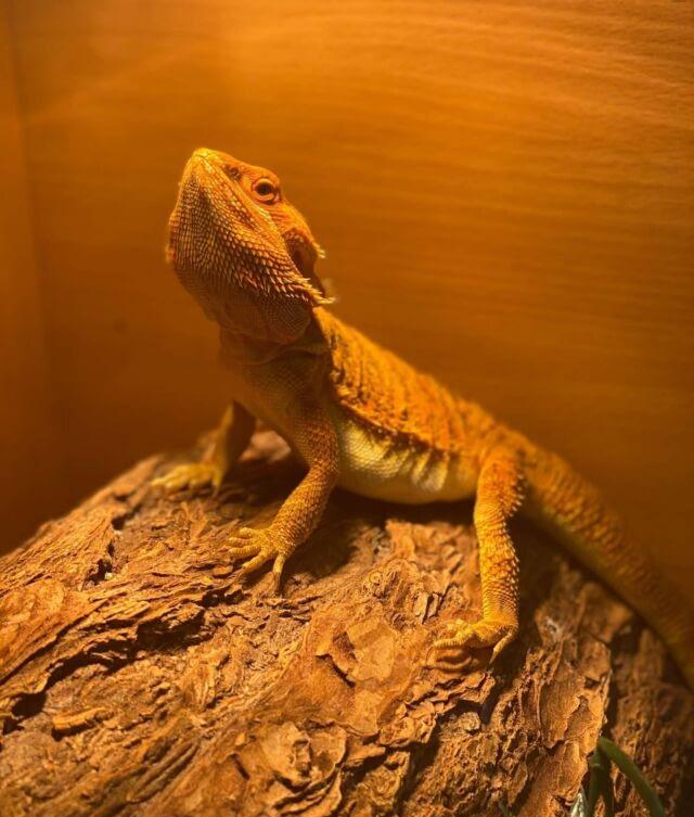 Happy #ReptileAwarenessDay 🦎  #reptiles #reptilesofinstagram #reptilesofinstagram #reptilepets #pets #reptilephotography #photography #animalphotography #beardeddragon #beardeddragonsofinstagram